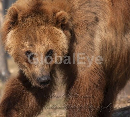 Ursus arctos. A captive grizzly bear at the West Yellowstone Bear and Wolf discovery center.Photograph By Paul   Thomson #WildlifePhotography