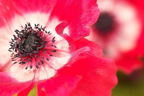 Two-wheel anemone