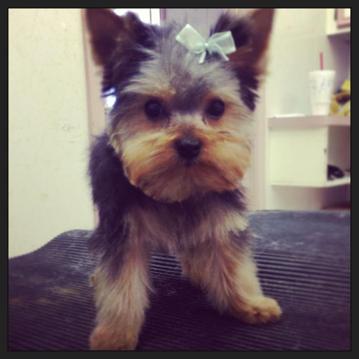 haircuts for teacup yorkies 25 best ideas about yorkie on yorkie 3016