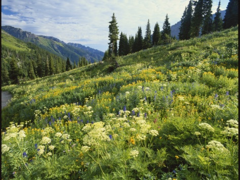 Cow Parsnip and Orange Sneezeweed Growing on Mountain Slope, Mount Sneffels Wilderness, Colorado Photographic Print