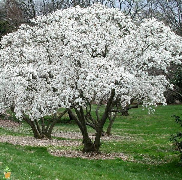 Royal Star Magnolia tree.  hardy, only 10-15' high at maturity, needs 4-6 hours sunlight