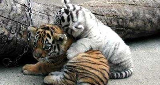 20 Cute Baby Animals Bring You a Good Mood: White Tigers, Babies, Cat, Tigercub, Tiger Cubs, Baby Animal,  Panthera Tigri, Tigers Cubs, Baby Tigers
