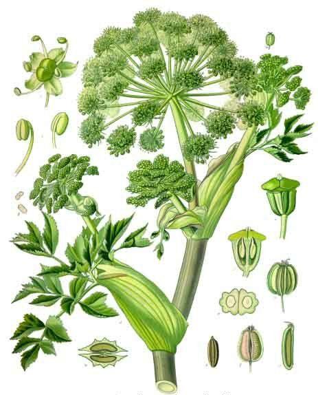 … arcydzięgiel i lubczyk … tajemnicze zioła o podobnym działaniu … | Medycyna naturalna, nasze zdrowie, fizyczność i duchowość