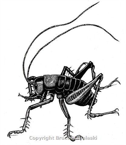 Animal Pics- Tusked weta.jpg (416×480)
