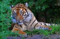 Tailing Tiger Conservation
