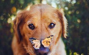 собака, бабочка, взгляд