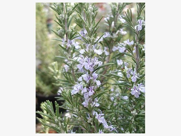 Rosmarin ist nicht nur ein beliebtes Gewürz, die mediterrane Pflanze enthält viele wertvolle Inhaltsstoffe und kommt als Arzneimittel zum Einsatz.
