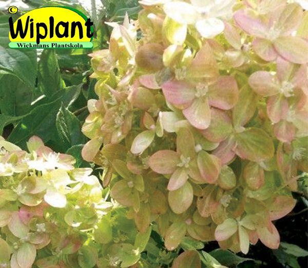 Hydrangea pan. 'Little Lime', Syrenhortensia. Limefärgade blommor som övergår i rosa.  Låg sort.  Tidig blomning vid prov år 2014.  Höjd: 0,8-1 m.  Surjordsväxt pH 4-5.  Zon III?