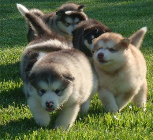 OMG - Giant Alaskan Malamute Puppies - that's the most cutest animals on earth!!!