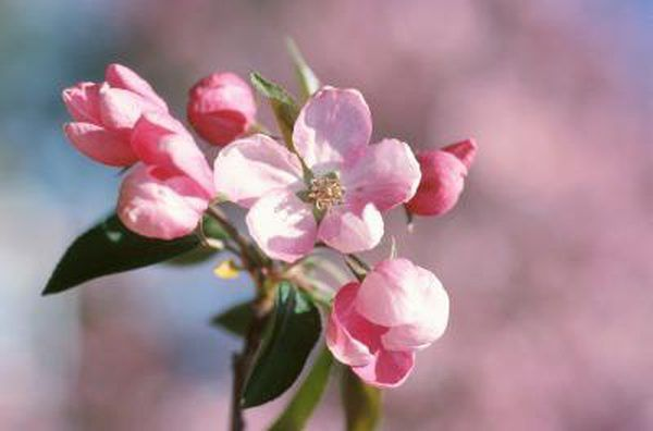 The Kinds Of Apple Trees With Pink Flowers Apple Blossom Flower Apple Blossom Pink Flowering Trees