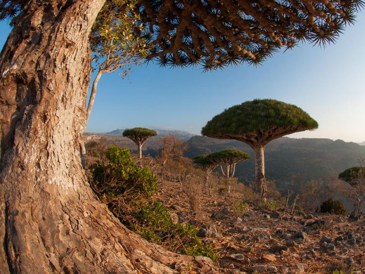 Socotra Island and Archipelago, Indian Ocean, Yemen - home to the striking Dragon Blood Tree. Picture: Mario Eder/Getty Images