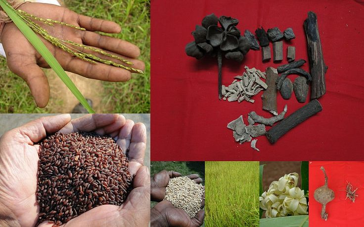 Medicinal Rice based Tribal Medicines for Diabetes Complications and Metabolic Disorders (TH Group-775) from Pankaj Oudhia's Medicinal Plant Database. Encyclopedia of Tribal Medicines by Pankaj Oudhia. #TribalMedicines #Ethnobotany