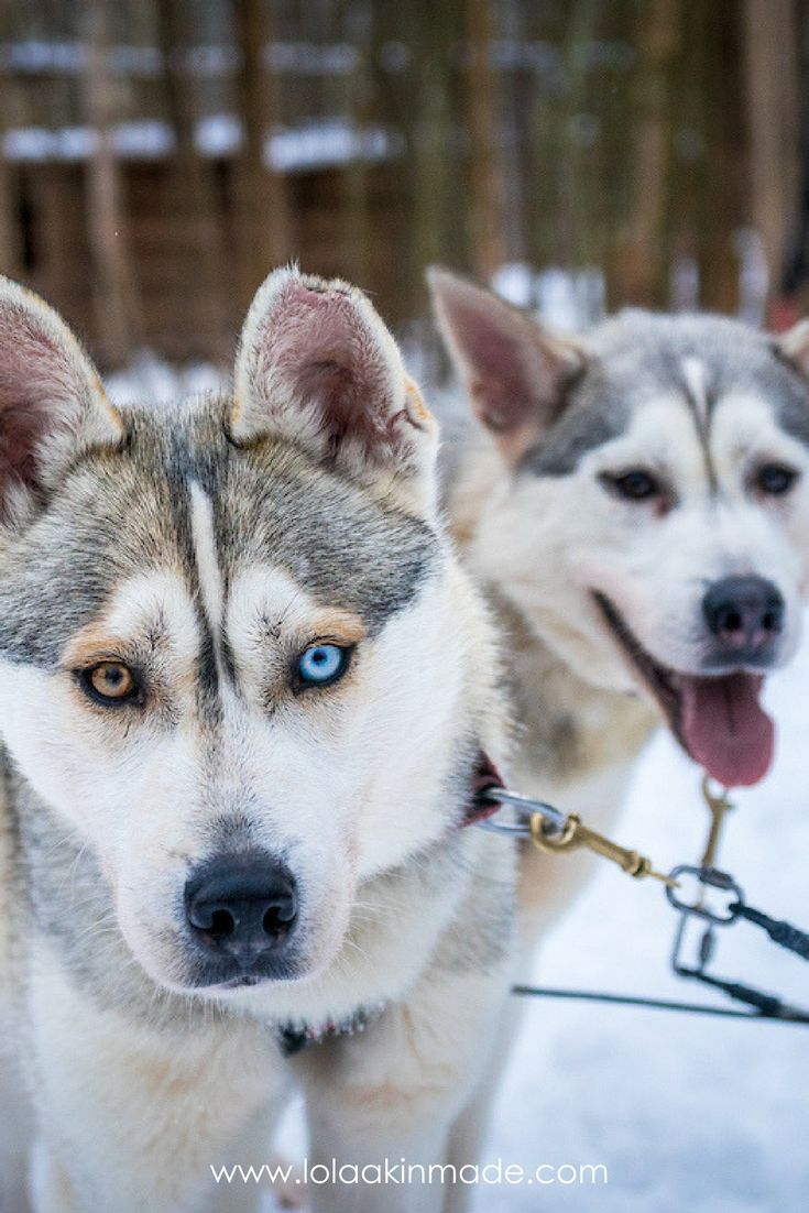 A visual depiction of husky sledding in Lahti, Finland. Experience what it feels like to go dog sledding and learn more about the dog sledding tradition in Finland. | Geotraveler's Niche Travel Blog