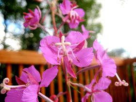Sarah Living Simply: Homemade Fireweed Jelly, Anyone??