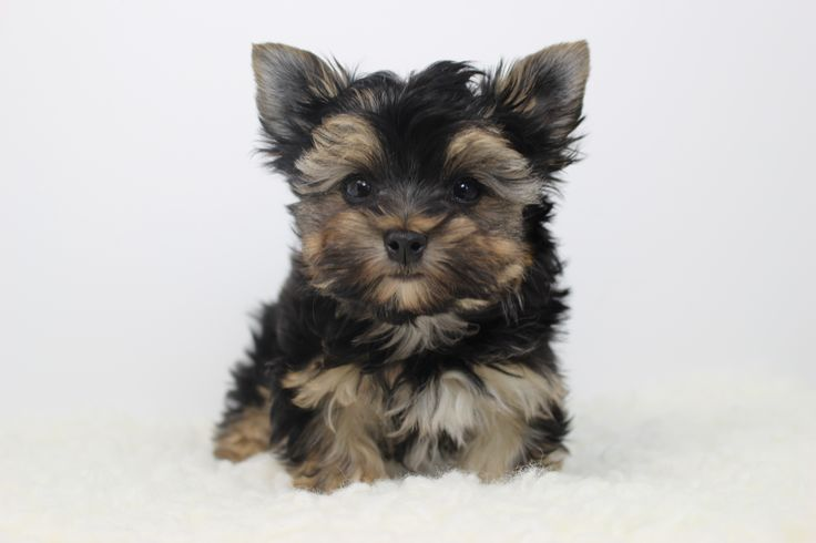What Is The Absolute Smallest Dog Breed