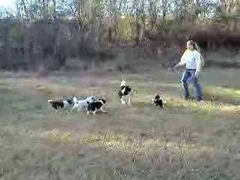 Border collie puppies training at 8 weeks old