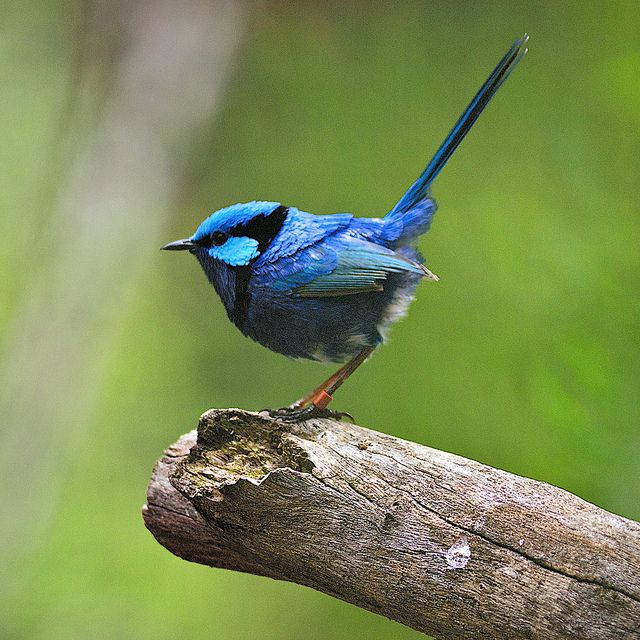blue wren female - Google Search