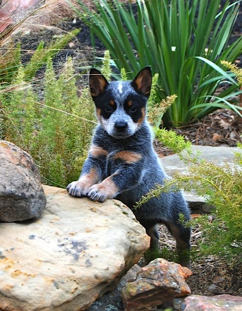 Blue Heeler Puppy | How precious is that face?