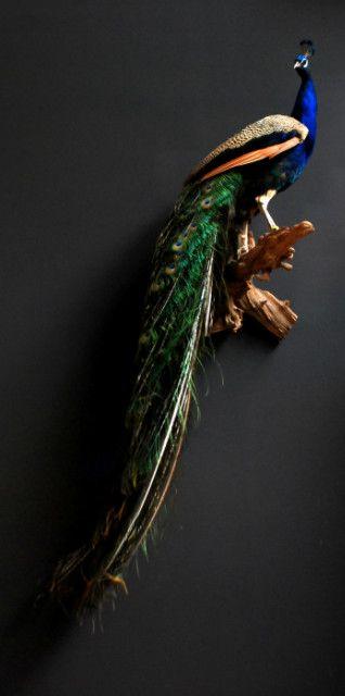 Stylish stuffed peacock. The peacock is prepared on a piece of ro - Stuffed birds, Bird taxidermy. - http://www.dejachtkamer.nl/home