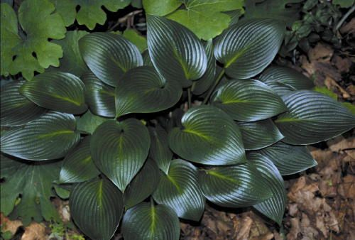"Hosta 'Devon Green'  - Needs 25-90% shade.  Medium sized Hosta. 7x4"", very dark green, smooth, shiny leaves of tremendous substance, & attractive ribbing. Purple-spotted petioles with lavender flowers that bloom in Jul-Aug. One of the best recent introductions & one of the best green-leaved Hostas.  A good sport of H. 'Halcyon' & leaves have the distinct shape of H. 'Halcyon."