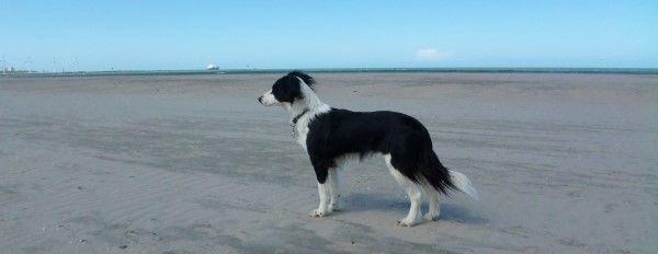 Sproet the sprollie | kruising border collie x Engelse springer spaniel | border collie English springer spaniel mix | dogs