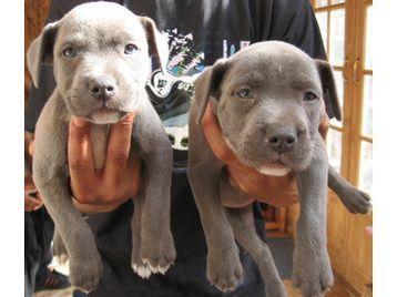 blue grey staffies - so cute