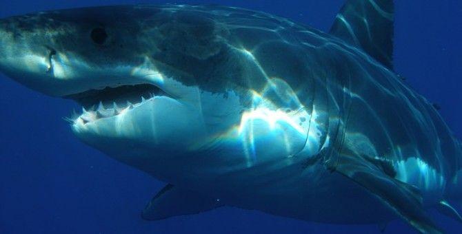 Shark Attack in California Blamed on Human Action
