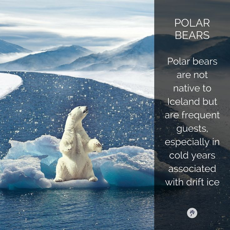 Discover #PolarBears in #Iceland with www.tour.is!