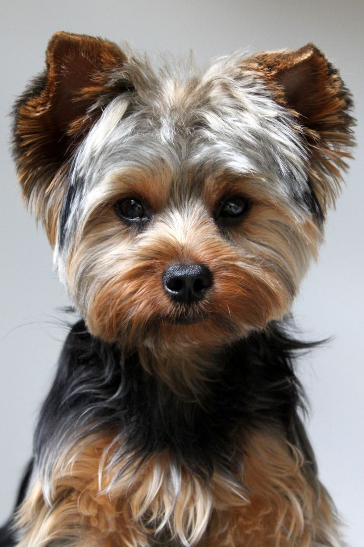 best winter yorks images on pinterest yorkies puppies and