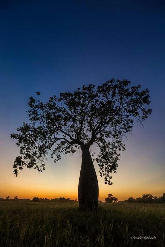 Palo borracho,nuestro árbol...