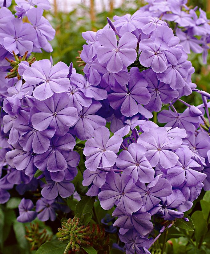 #plumbago #viola #purple #summer #estate #flowers #fiori