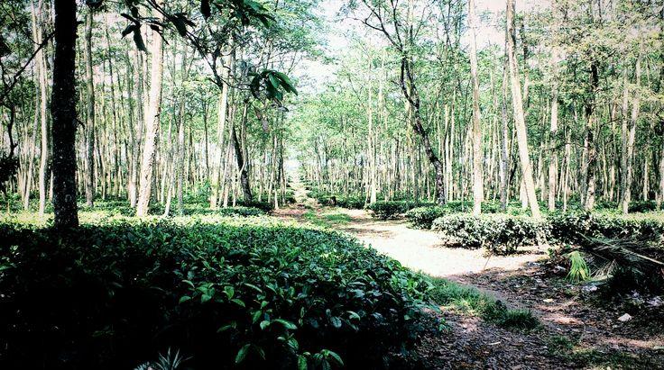 Subang - Bandung Forrest near Mount Tangkuban Perahu