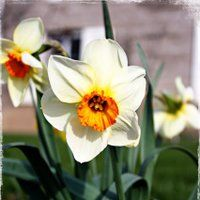 narcissus flower photo: 15- orange centered 15-orangecentered.jpg