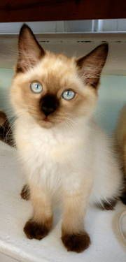 ~STUNNING Siamese/Ragdoll Kittens for Sale~