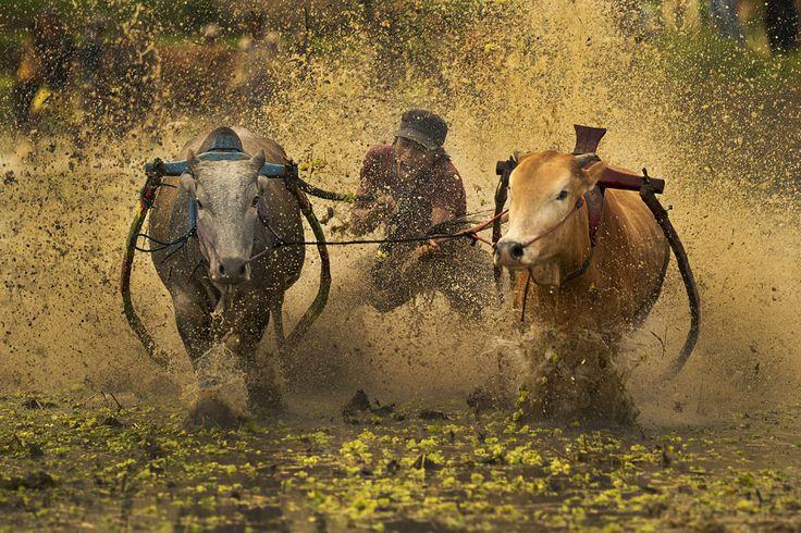 Chee Keong Lim Bull Race