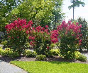 Red Rocket Crape Myrtle Lagerstroemia Indica Red Rocket