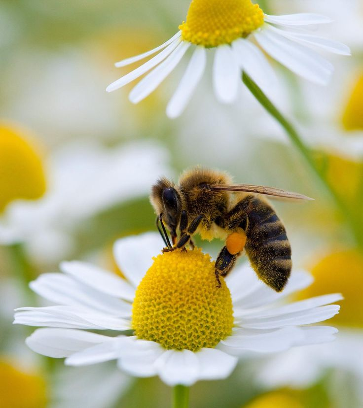 Bee and camomile.