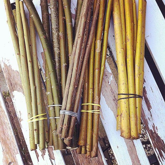 Fem små gaver til haven, de er høstet i efteråret og skal nu slå rødder i en spand vand. Vi sætter dem som pilehegn og høster senere til praktisk brug. #pil #Amerikanske #rødpil muligvis en #gul #Alba og almindelig #flettepil.