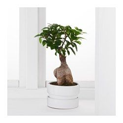 FICUS MICROCARPA GINSENG Plant with pot, bonsai, assorted colors - IKEA