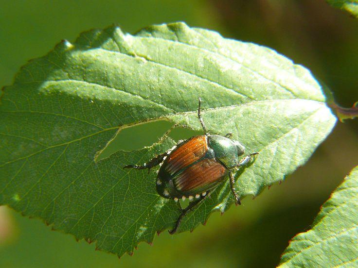 Plusieurs jardins sont présentement envahis par les scarabées du rosier et/ou les scarabées japonais. Ces insectes peuvent créer beaucoup de dégâts en peu de temps. Scarabée du rosier (Macrodactylus subspinosus)  Comme son...