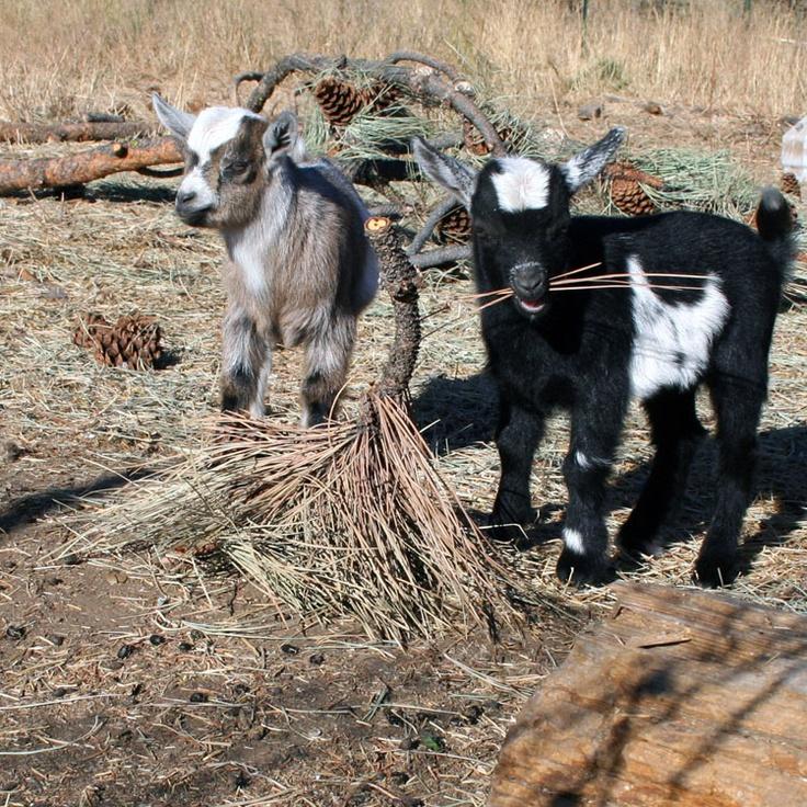 778 Best Goat Farm Images On Pinterest: 50 Best Images About Goats On Pinterest