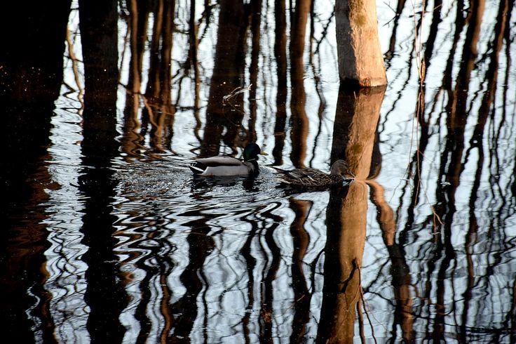 Mallard Ducks by Claude Charbonneau on 500px