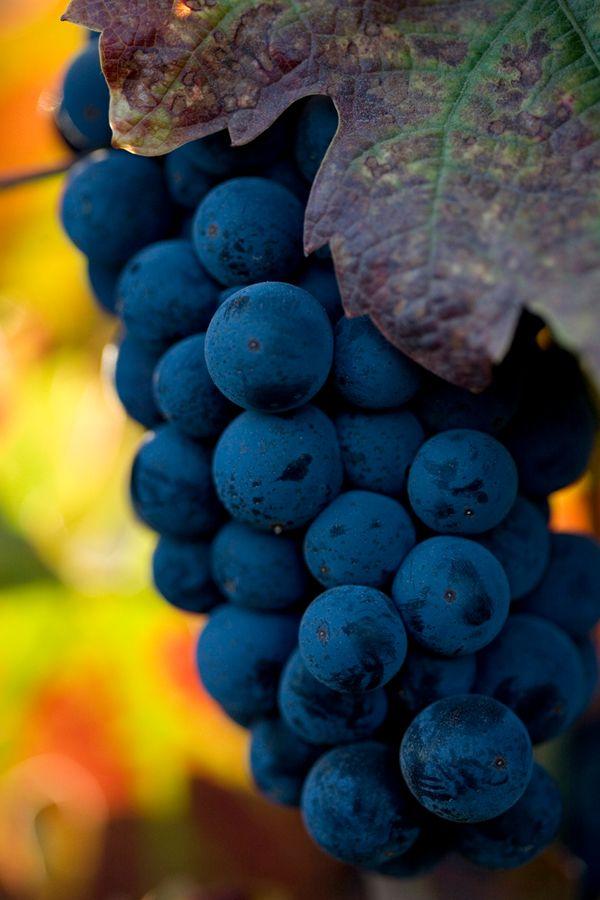 """Uva Cabernet Sauvignon - """"Rei dos Uvas do vinho tinto."""" O colonizador das vinhas, empurrando uvas nativas em suas sombras. O Cabernet Sauvignon é muito popular em regiões vinícolas em todo tanto o Velho Mundo e Novo Mundo. Suas raízes mais íntimas remontam à Região do Vinho Bordeaux, na França."""
