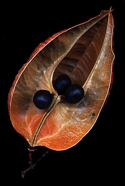 seed pod . 'Flowers, Leaves, etc'. - PSchenk