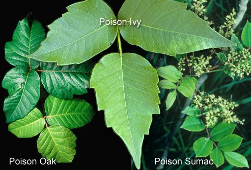 Know Your Poisonous Plants | 22 Absolutely Essential Diagrams You Need For Camping