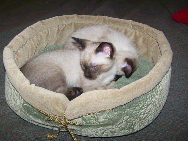 Сиамские котята в самодельном лежаке