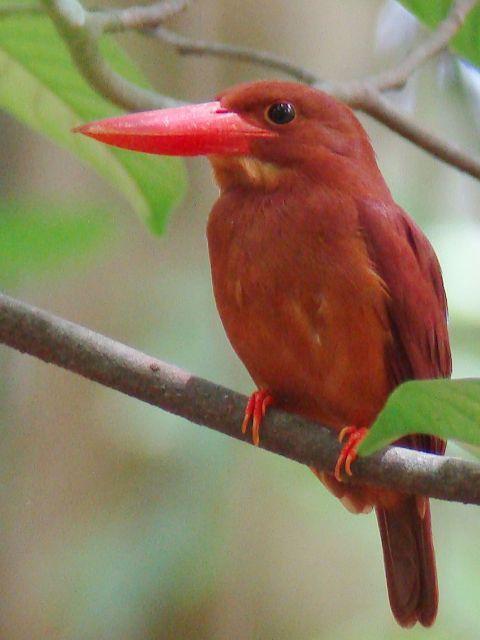 Ruddy Kingfisher - Tangkoko National Park, Sulawesi