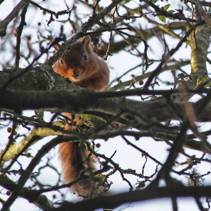 Red Squirrel around Loweswater