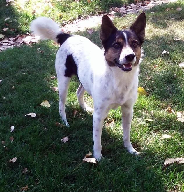 Adopt Sam on Australian shepherd, Australian cattle dog
