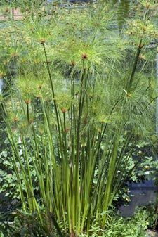 1000 id es sur le th me cyperus papyrus sur pinterest plantes ornementales pelouses et. Black Bedroom Furniture Sets. Home Design Ideas